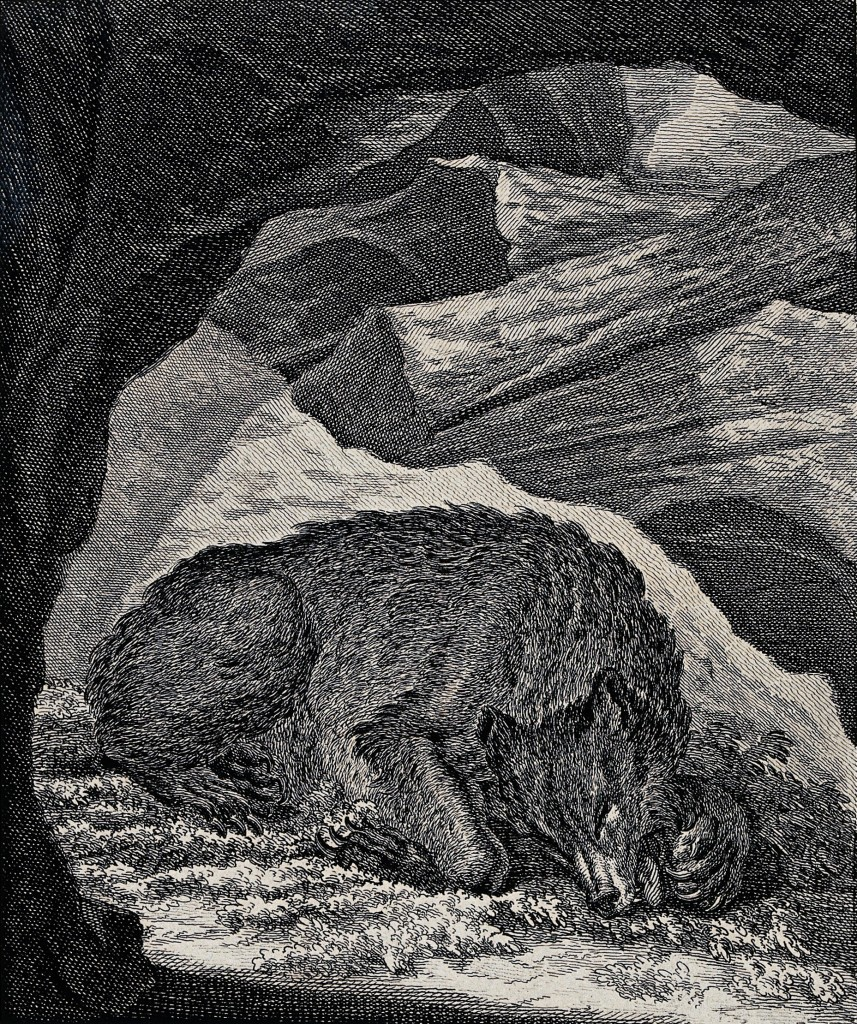 V0021064 A bear resting in its cave and sucking at its paws. Etching